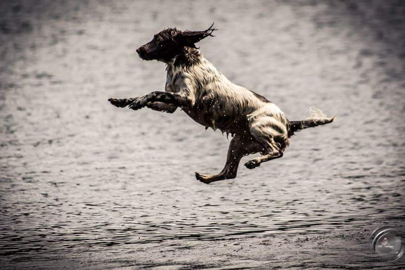 Springer Spaniel Inde in flight